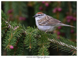 20170509 8709 Chipping Sparrow.jpg