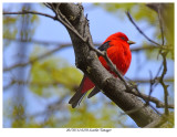 20170512 0250 Scarlet Tanager.jpg