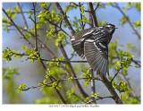 20170517-2 0702 Black and White Warbler xxx.jpg