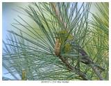 20170517-1 2537 Pine Warbler.jpg