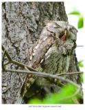 20170524 8965 Eastern Screech Owl.jpg