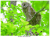 20170610  2608  Barred Owl.jpg