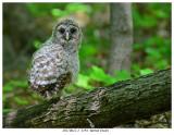 20170612-1  3194  Barred Owlet.jpg