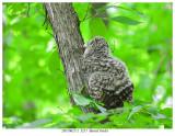 20170612-2  3251  SERIES - Barred Owlet.jpg
