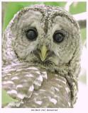 20170610  2167  Barred Owl.jpg