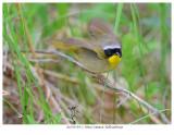 20170519-2 3046 Common Yellowthroat.jpg