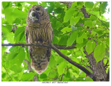 20170613  4877  SERIES - Barred Owl.jpg