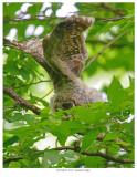 20170613  4752  Barred Owlet.jpg