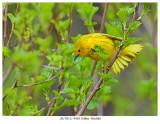 20170511 9430 Yellow Warbler xxx.jpg