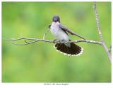 20170623  5302  Eastern Kingbird.jpg
