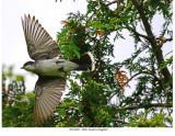 20170623  4886  Eastern Kingbird.jpg
