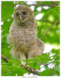 20170613  4707  Barred  Owlet xxx.jpg