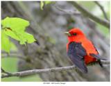 20170605  1805 Scarlet Tanager.jpg