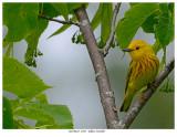 20170623  4705  Yellow Warbler.jpg