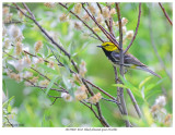 20170602  0162  Black-throated Green Warbler.jpg