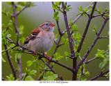 20170519-2 2713 Field Sparrow.jpg
