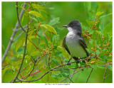 20170623  4674 Eastern Kingbird.jpg