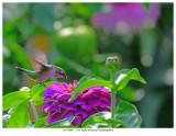 20170805  7534 Ruby-throated Hummingbird.jpg