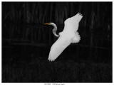 20170805  7899 Great Egret r1.jpg
