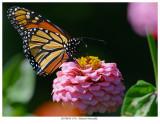 20170818  9511  Monarch Butterfly r1.jpg