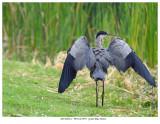 20170818-1  9976 & 9957 2 SERIES -  Great Blue Heron r1r1.jpg