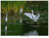 20170805  7679  Great Egrets.jpg