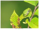 20170821  0403  Eastern Gray Tree Frog.jpg