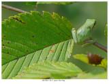 20170821  0157  Gray Tree Frog.jpg