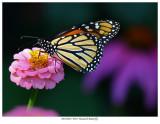 20170818  9383  Monarch Butterfly.jpg