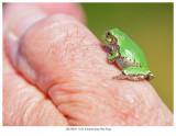 20170829  5184 SERIES -  Eastern Gray Tree Frog.jpg