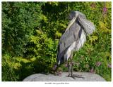 20170809  8284 Great Blue Heron.jpg