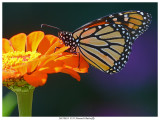 20170818  9535 SERIES - Monarch Butterfly.jpg