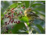 20170906  1248  Cape May Warbler.jpg