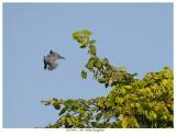 20170912  1445  SERIES -  Belted Kingfisher.jpg