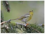20170906  1151  Cape May Warbler.jpg