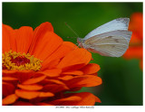 20170901  1011  Cabbage White Butterfly.jpg