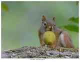 20170901  0920 SERIES - Red Squirrel.jpg