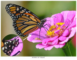 20170920  2127  SERIES -  Monarch and Painted Lady.jpg