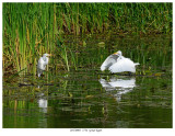 20170805  7734  Great Egret.jpg