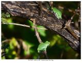 20170829  5020  5007  Eastern Gray Tree Frog.jpg