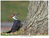 20170917  1743  Pileated Woodpecker.jpg