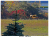 20171023  6812  Northern Harrier.jpg