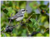 20171104  7503  SERIES -  Black-throated Gray Warbler.jpg