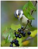 20171104  7498  Black-throated Gray Warbler r1r1.jpg