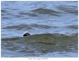 20171103  7384  Long-tailed Duck.jpg