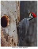 20171106  7633  Pileated Woodpecker.jpg