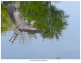 20170920  1830 Great Blue Heron.jpg