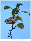 20171106  7558  Black-throated Gray Warbler.jpg