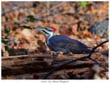 20171107  7649  Pileated Woodpecker.jpg