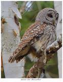 20171123  8213  Barred Owl.jpg